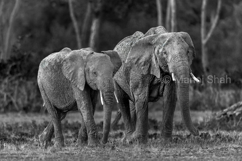 African elephants emerging from the forest in Masai Mara early morning.