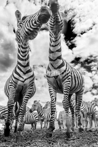 A secretly hidden remote camera captures a herd of Zebras at the river crossing point in Masai Mara, Kenya The camera is un noticed and the zebras start grooming each other. This natural behaviour was made possible by hiding the camera amongst natural rocks. It looks like a view a mosquito would have seen when flying through the herd.