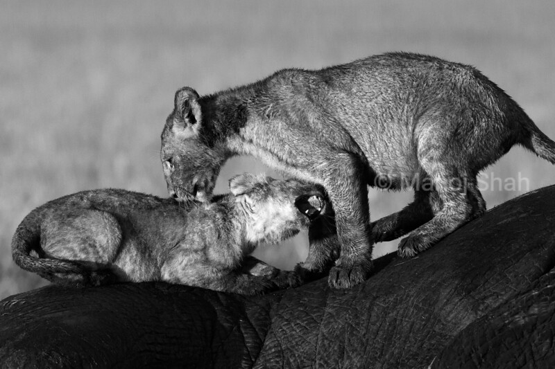lion cubs playing on top of dead elephant