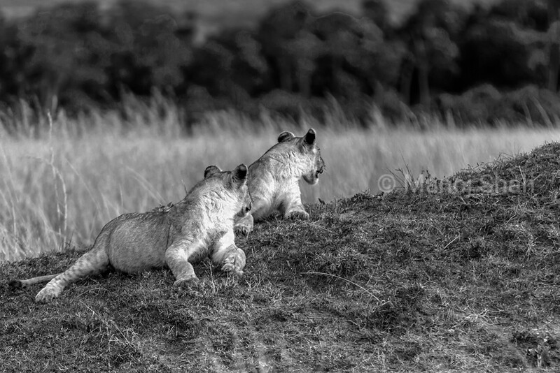 The two cubs had filled their brllies and were watching (sitting on top of an ant hill) their mother and aunt finishing up the wildebeest kill. A sudden movement on the savannah grass caught the cubs attention. It was a jackal who had come to pick up any pieces of meat lyiing around. I noticed a pattern of four beautiful ears and did mot waste any second in pressing the camera shutter button.