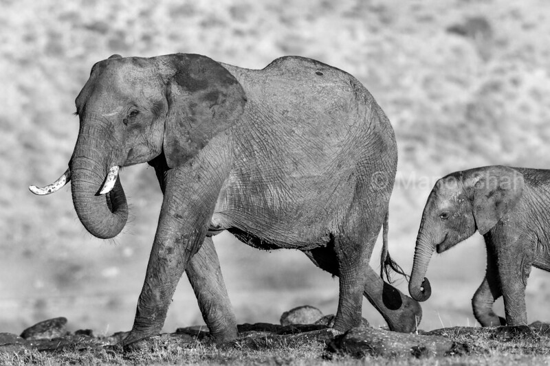African elephant mother and baby waling at sunrise in Masai Mara.