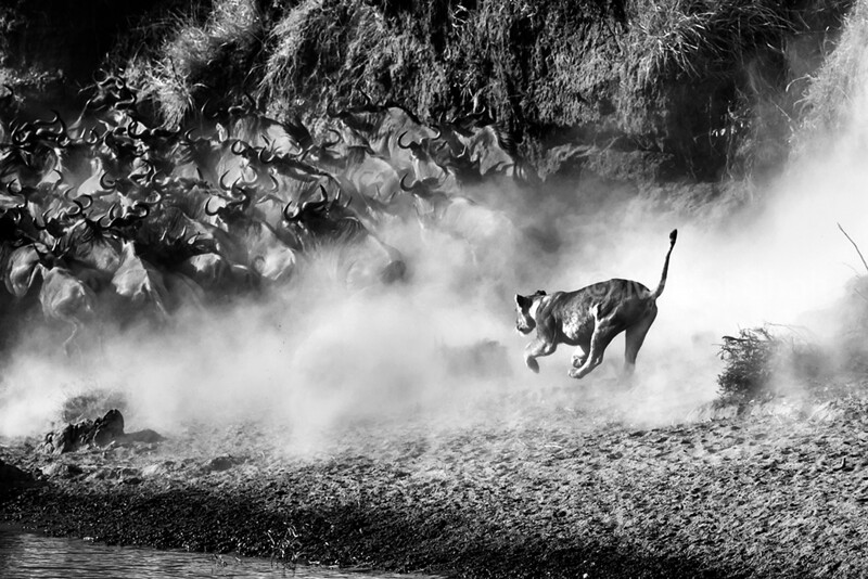 The lioness darted towards the wildebeest crossing the Mara River.The poor wildebeest herd ran, churning up a lot of dust in the process. Somehow the lioness missed her target and came back empty handed. I remember that soon after the shot was taken, there was a tremendous cloud of thick dust. All I could see was dust, dust, and dust everywhere! Maybe the lioness for her own safety, gave up on the hunt.