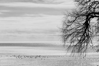 Winter Waterfowl, Lake Ontario