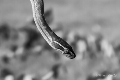 20201021 Brown House Snake (Boaedon capensis) from Vredendal, Western Cape