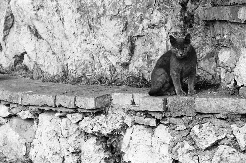 Stray Cat on Wall in Capri, Italy