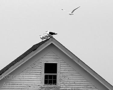 Gulls on Shack