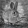 Western Brush Rabbit (Cottontail) - Sylvilagus bachmani