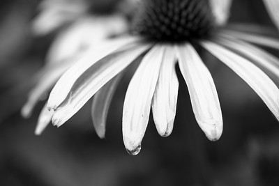 Coneflower In The Rain