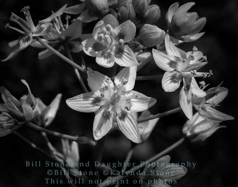 Zigadenus fremontii, Star lily, death camas, Mount Diablo
