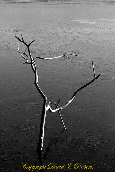 Tree branch in the ice, Lake Padden, Bellingham WA