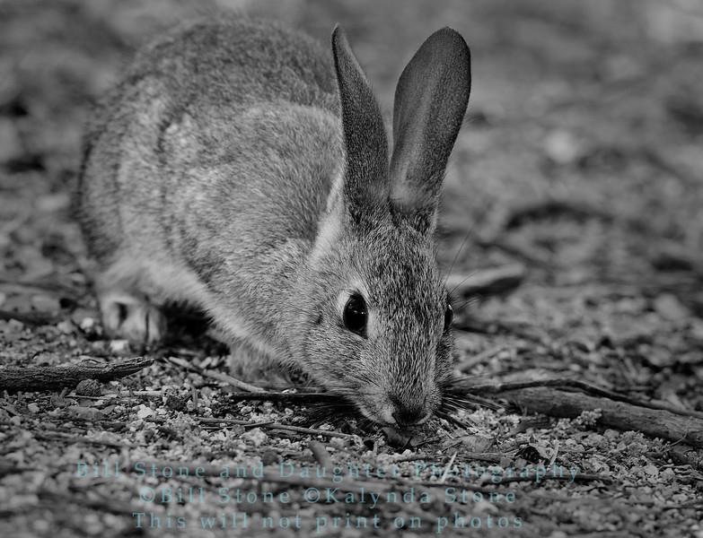 Western Brush Rabbit (Cottontail) - Sylvilagus bachmani - Monterey County, California