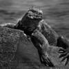 Marina Iguana Portrait-Isla Espinola-Galapagos