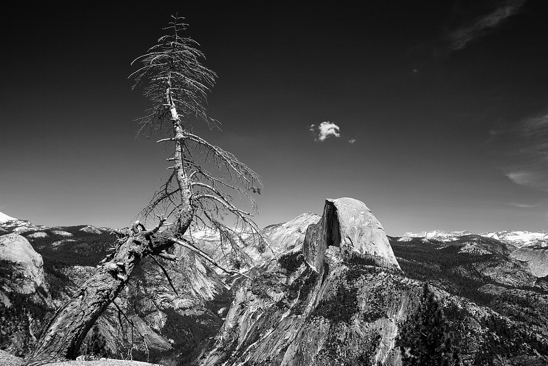 Lone tree at Half Dome