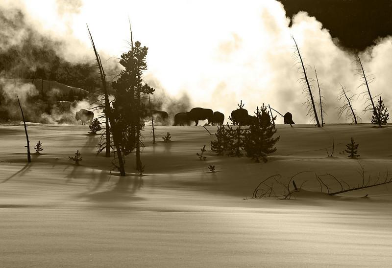 Bison keeping warm by geyser, digital sepia image.