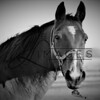 Equine Photography