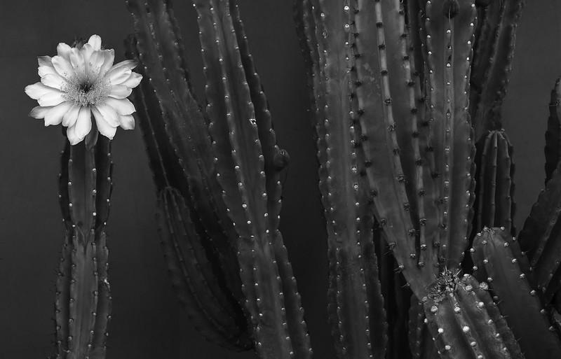 Cactus flower<br /> 2016