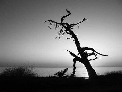 Snag tree in Carpinteria.