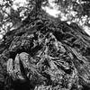 Redwood tree, taken near Rotorua.<br /> North Island, New Zealand