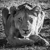 my crouching lioness in black and white
