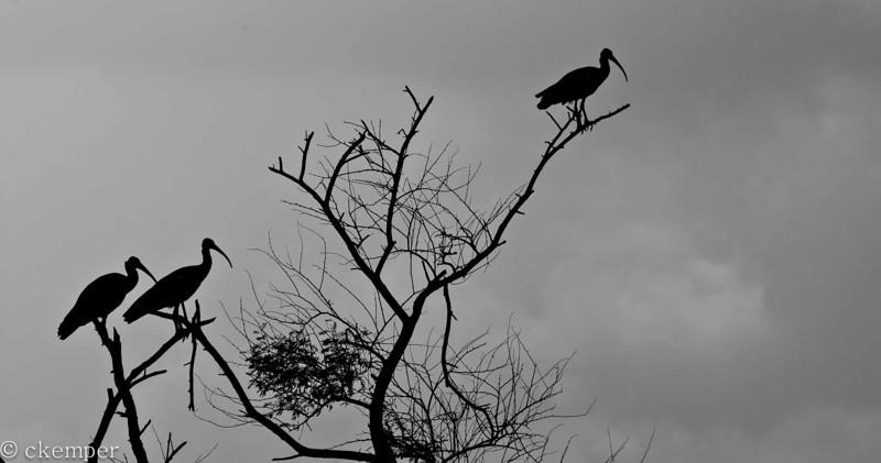 Black Ibis<br /> India