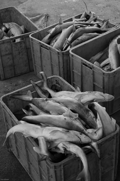 Sharks, Oman