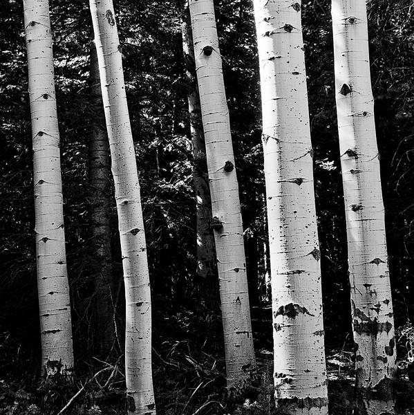 Aspen trunks in Colorado