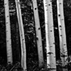 Aspen trunks in Colorado