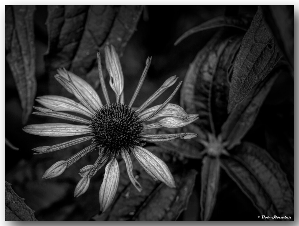 Coneflower in B&W