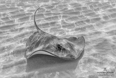 Southern Stingray (Dasyatis americana), Grand Cayman, British West Indies