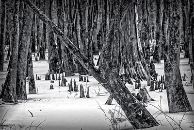 Cyprus Knees n Trees in the Snow