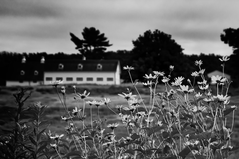 Flowers in bloom with farm buildings in the background.