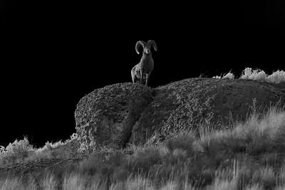 Ram On The Ridge b+w