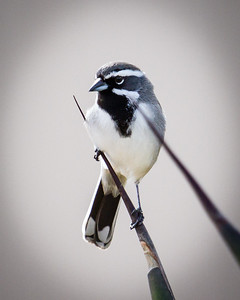 BW Black Chinned Sparrow
