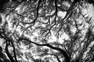 Magnolia Gardens oaks