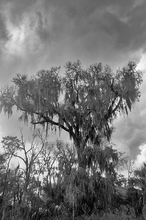 Tree covered in Spanish moss