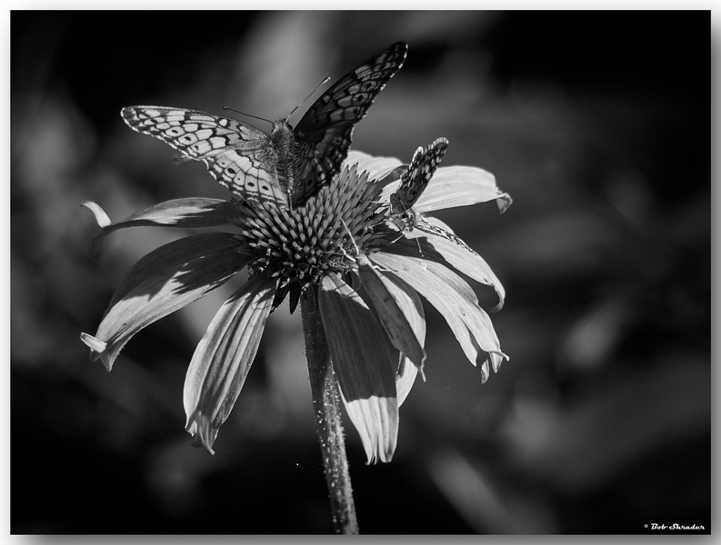 Visitors on Coneflowers