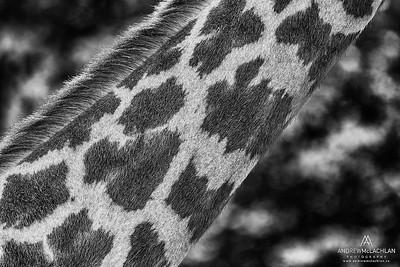 Masai Giraffe (Giraffa camelopardalis tippelskirchi) - captive