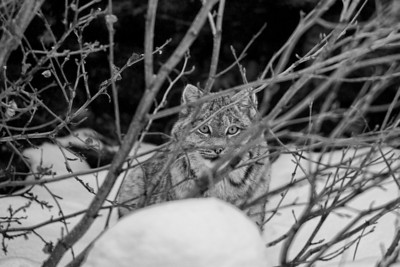 Lynx staring at photographer through willow branches. Northern BC. Canada. Winter image.