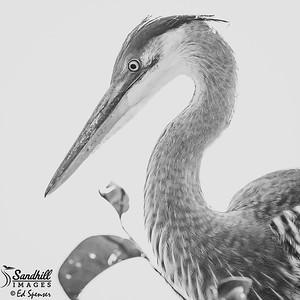 Great blue heron portrait in monochrome