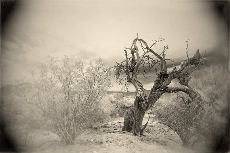 Dead Tree In Saguaro