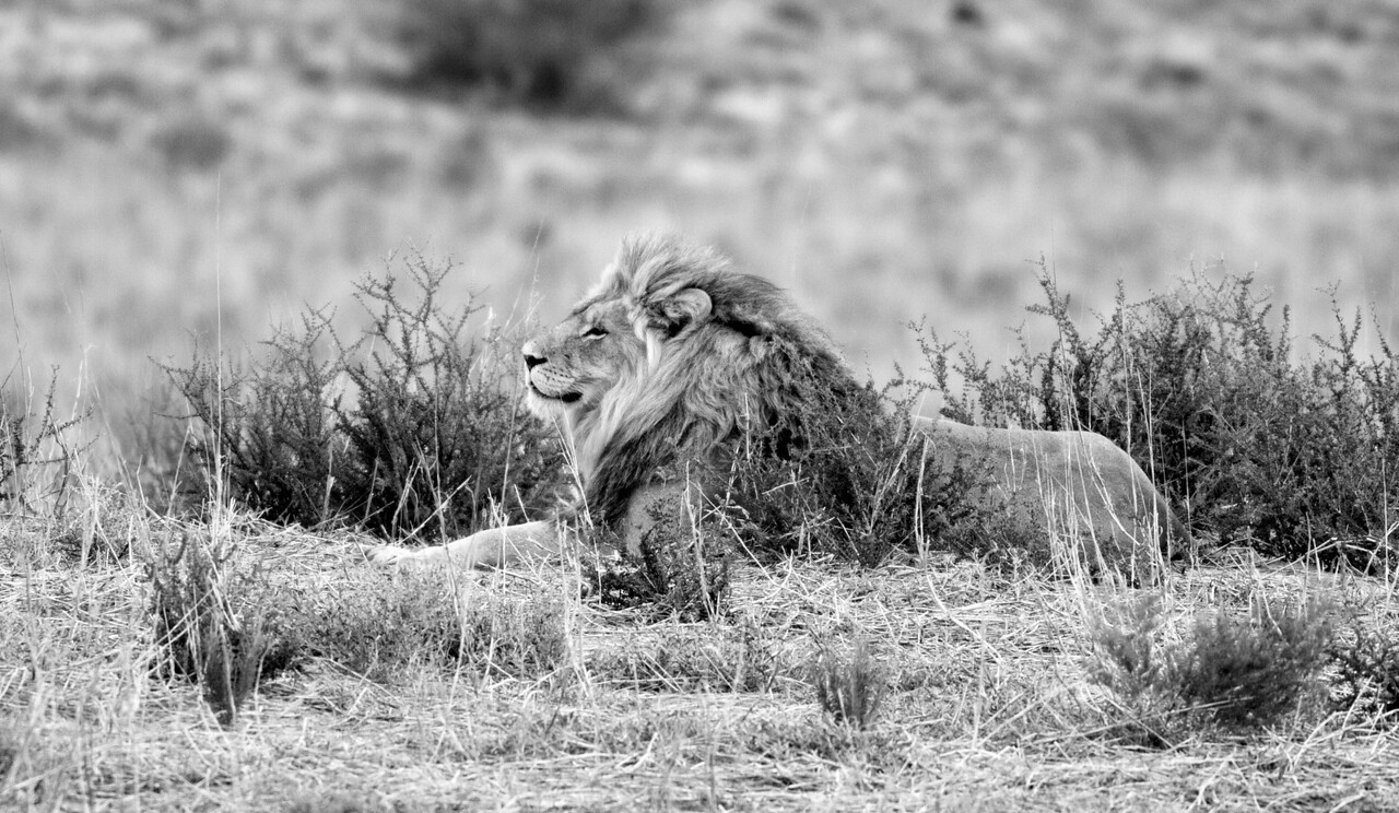 A lion lounges in brush in the Kalahari Desert, in northwestern South Africa. December, 2011.