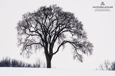 Winter Tree, Orillia, Ontario, Canada
