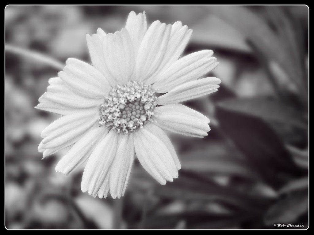 Spring Flower in B&W