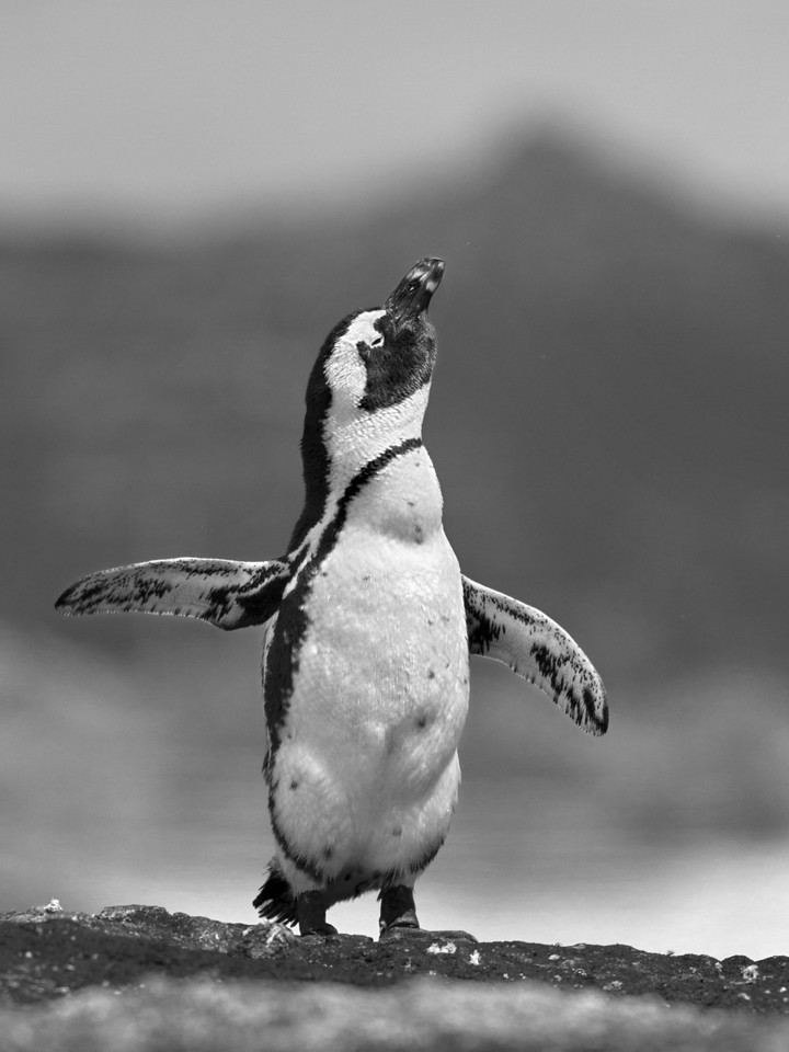 A Jackass Penguin shakes itself out. Cape of Good Hope peninsula, South Africa. December, 2013.