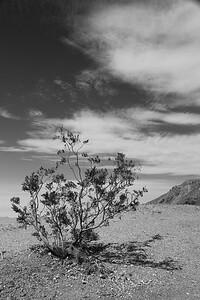 Death Valley Mesquite