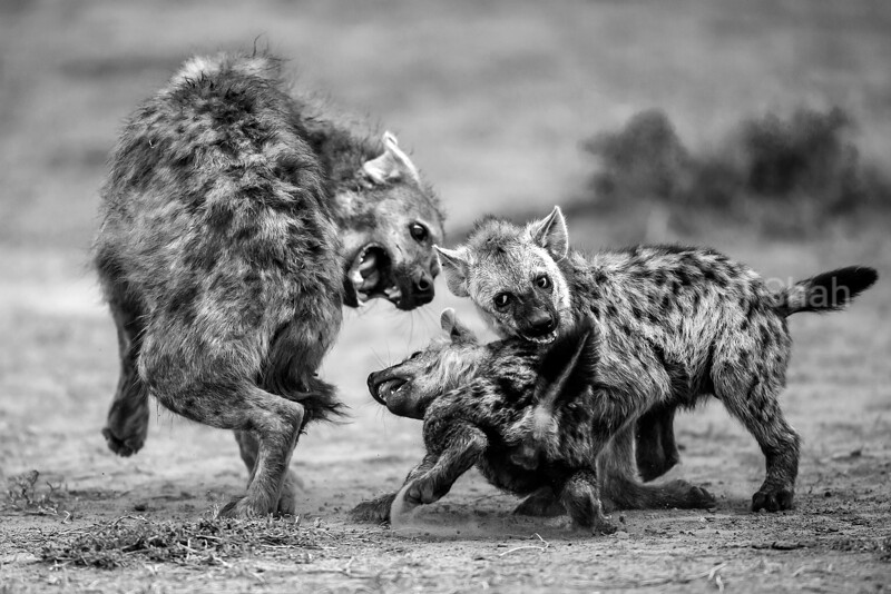 With full bellies the spotted hyena puppies became very energetic and mischievous around their den area in Masai Mara, Kenya. Knowing no boundaries, they started harassing an adult male by biting on his back legs. This surely must have been painful, as they are still learning their strengths. The male hyena became angry, turned around and snarled as if to say 'enough is enough'..