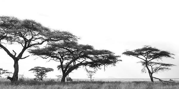 Acacia Trees • Tanzania
