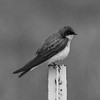 Swallow in Black and White