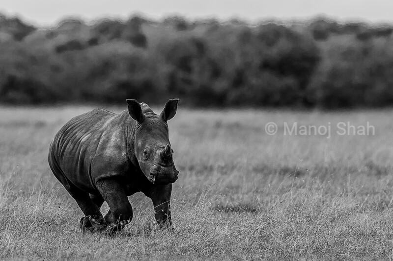Rhino Baby happily running to mother in Laikipia savanna