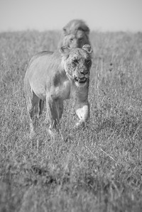 Lions on the Masai Mara